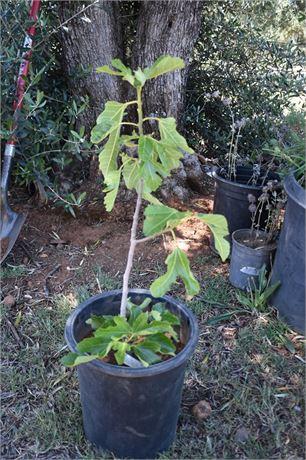 Violette de Bordeaux- well established root large tree