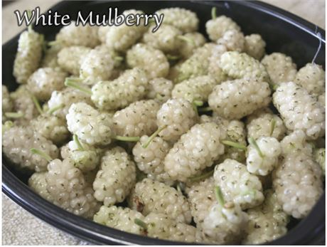 WHITE Berry Fruiting Mulberry Cuttings (4)