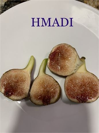 RARE!!!!! Hmadi fig tree plant   (well known fig in Israel)!!!!