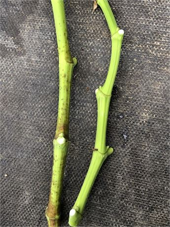 """TWO """"LSU Gold"""" Greenwood Cuttings Partially Lignified"""
