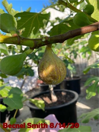TWO FRESH CUTTINGS  FROM MY AUTHENTIC BECNEL SMITH FIG TREE