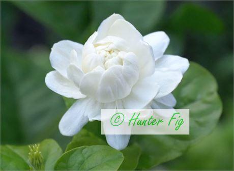 Arabian Jasmine(Grand Duke) 虎頭茉莉 - beautiful and very Fragrance <<<=======
