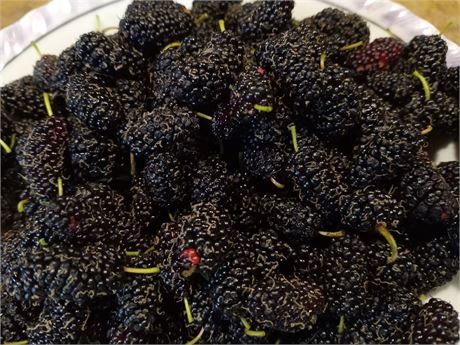 MAUI Mulberry 4 cuttings..DELICIOUS!!!