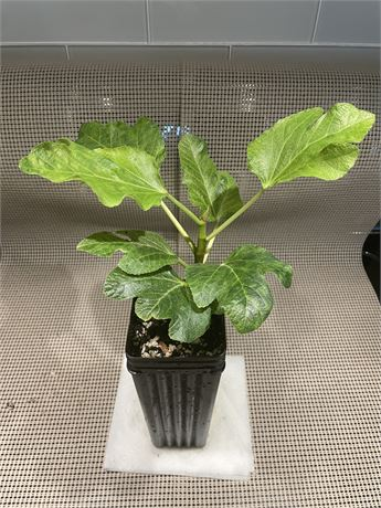 Genovese Nero (AF) - Rooted Cutting