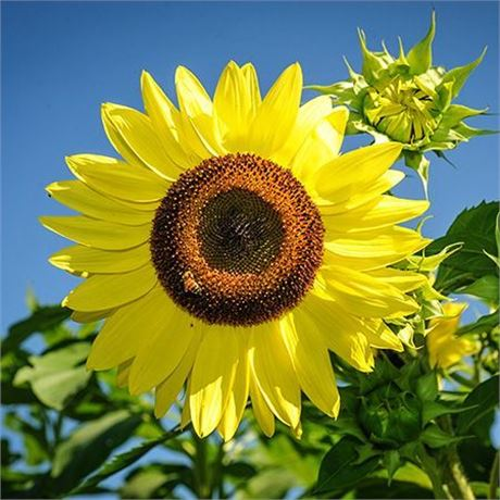 Lemon Queen Sunflower seeds - Pointed Lemon-Yellow petals w/ solid brown centers