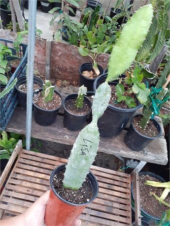 Lisa Dragonfruit - Rooted Cutting