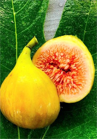 Cap Terra Hava - Rich & Exceptionally Sweet fig variety from Palestine