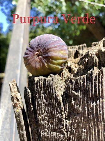 "Papura Verde ""New Discovery"" 2 Cuttings"