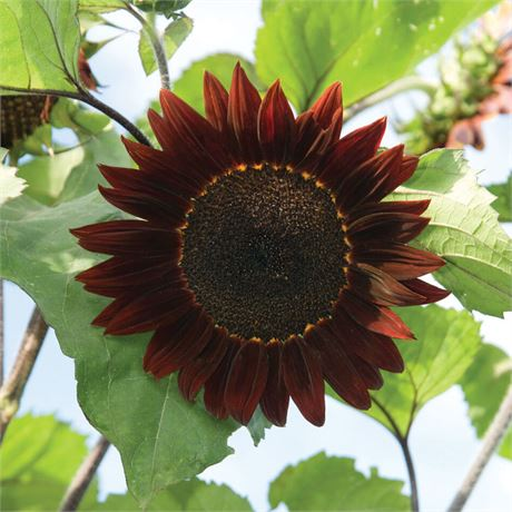 Moulin Rouge Royale Sunflower seeds - Deep red blooms with dark brown centers!