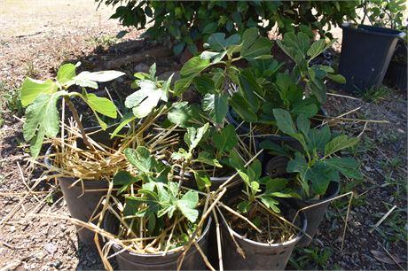6 Sevillano Figs- Capri male with edible late summer crop.