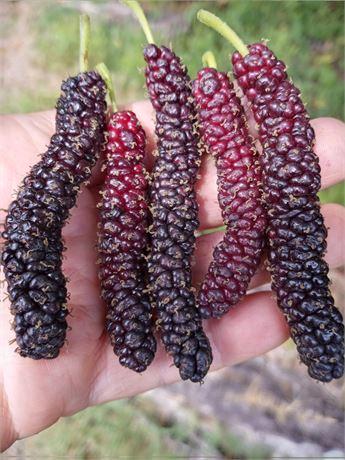Pakistani Mulberry 4 Cuttings..L.E.Cooke variety