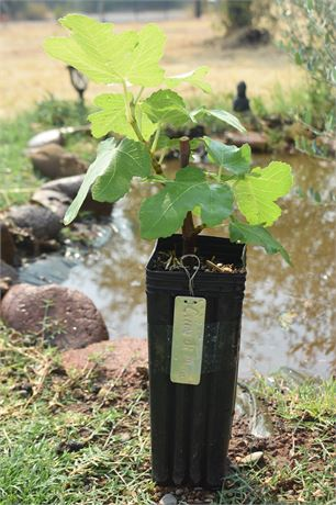 Creme di Mora Fig Tree -well rooted.-3 x 9 treepot