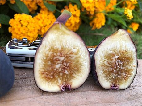 """""""Zaffiro"""" a excellent honey fig."""