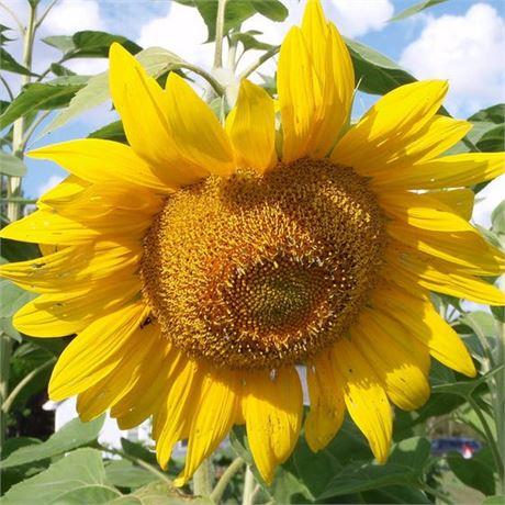 Mammoth Grey Stripe Sunflower seeds - Giant edible seed heads!
