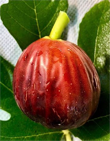 BALEARES 1 .. Prolific & Juicy fig variety from SPAIN