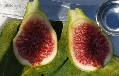 """White Madeira #1 Fig Tree in 9"""" Tree Pot"""