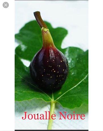 "Fig Tree ""Joualle Noire"" fantastic"