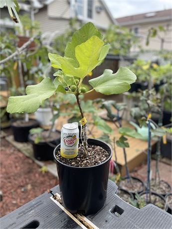 Ischia White (USDA) Fig Tree in a 2 gallon nursery pot  * * PICKUP ONLY * *