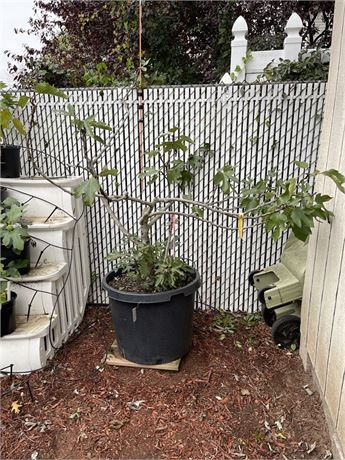 Nero 600M Fig Tree in a 25 gallon nursery pot  * * PICKUP ONLY * *